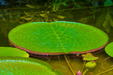 nymphaea leaves on the water. Plant growing in the lake with big leaf.