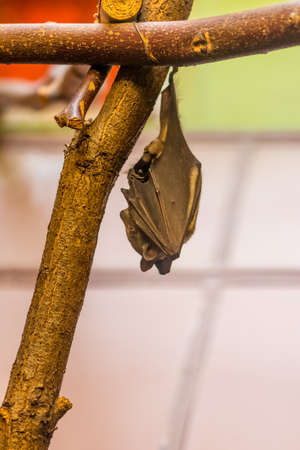 The bat animal (latin name microchiroptera) is hanging on the wood branch. Midnight creature with echolocation ability and vampire image. 版權商用圖片
