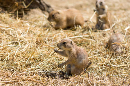 The Prairie Dog (latin name Cynomys ludovicianus) on the ground. Rodent animal coming from Africa.