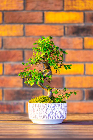 Bonsai (carpinus tree) in the white pot is placed on brown brick background. Small zen tree with green leaves and twisted trunk. Beautiful plant for home garden. Reklamní fotografie