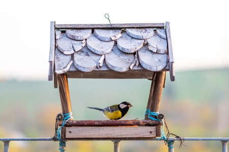 Hungry titmouse bird (latin name Parus major) is eating the sunflower seed in the wooden bird feeder. Birdfeeder in shape of house for small birds is placed on handrail. Closeup shot of wildlife. Reklamní fotografie