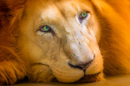 The lion (latin name Panthera leo krugeri) is resting on the wooden desk. Detail of animal head with beautiful eyes. Lion is naturally living in south Africa region - Bostwana. Stock Photo