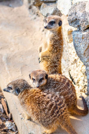 Common meerkat (Suricata suricatta) is guarding on the lookout tower. Watchful animal is standing on wooden trunk. Detail of cute creature naturally living in Africa. Small mammal animal. Stock Photo