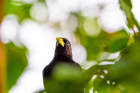 Yellow rumped bird named Cacique (latin name Cacicus cela) is hiding in the leafs of tropical tree. Small black bird with blue eyes and yellow wings is naturaly living in Brazil rainforest. Stock fotó