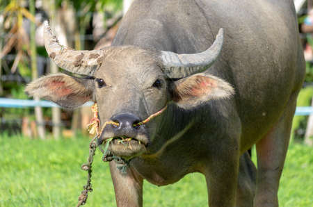 Close-up of a water buffalo eating grass looking into the camera.