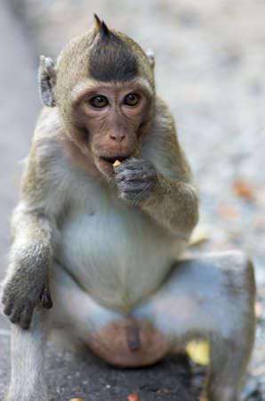 Imagen de un mono rhesus sentado y comiendo - se centran en la cara