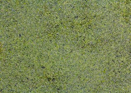 duckweed: Water overgrown with duckweed