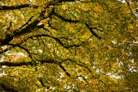 Under the canopy of the horse chestnut in autumn (Aesculus hippocastanum) photo