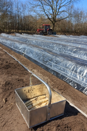 asparagus bed: The first asparagus production of asparagus beds in the countryside of the Netherlands
