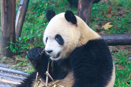 at ease: Giant panda eating bamboo at his ease Stock Photo