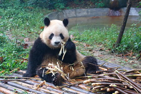 Giant panda eating at his ease next to a pile of fresh bamboo Stock Photo