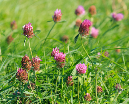 trifolium: Close view of Red clover (Trifolium pratense) with shallow depth of field Stock Photo