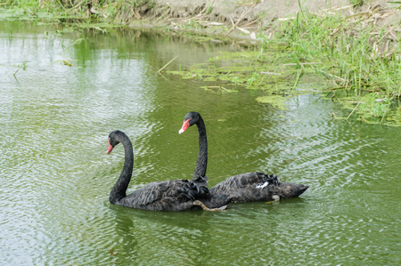 soulful eyes: Two black swans are swimming in water