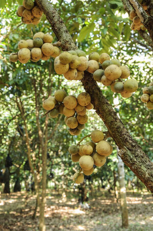 fresh wollongong fruits on tree in Thailand photo