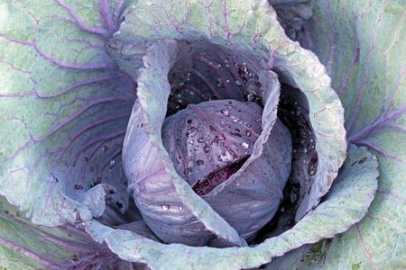 homegrown: Homegrown Green and Purple Cabbage in the Garden  Stock Photo