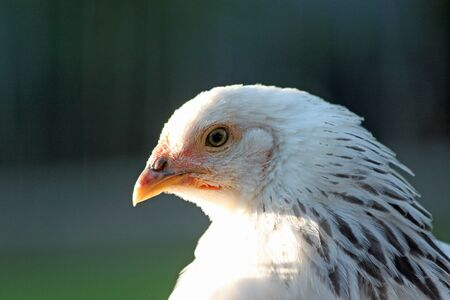 egglayer: Closeup of a Young White Chicken in Profile Stock Photo