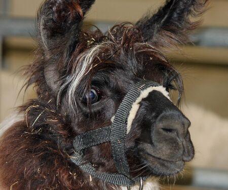 Shaggy Brown Llama at the Spokane Interstate Fair Reklamní fotografie - 43531651