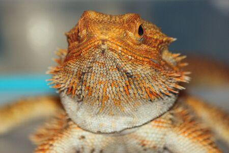 bearded dragon: Closeup of a Golden Bearded Dragon at the Spokane Interstate Fair