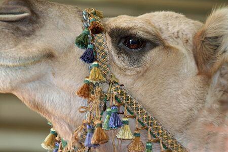 Closeup of a Camels Eye at the Spokane Interstate Fair Banco de Imagens