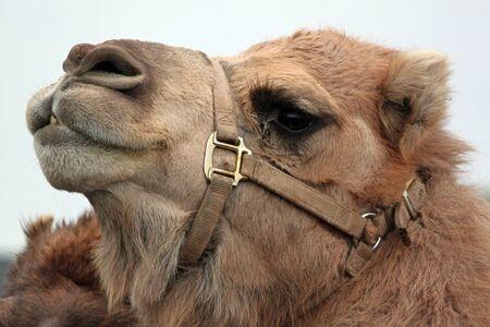 Camel Closeup at a Living Nativity Scene
