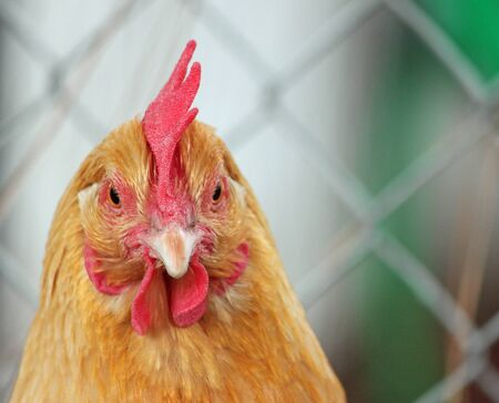 egglayer: Face to Face Closeup of a Buff Orpington Hen Stock Photo