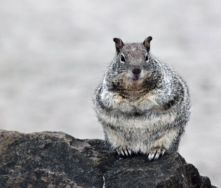 curious: Curious Chubby Gray Squirrel