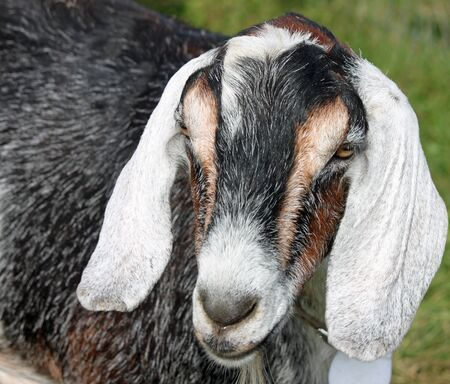 barnyard: Closeup of a Friendly Goat at the Cheese Factory