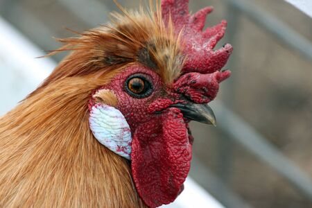 egglayer: Closeup of a Handsome Rooster Stock Photo