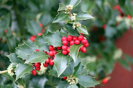 Red Holly Berries and Green Leaves Stock fotó