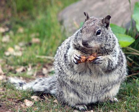 munching: Chubby Grey Squirrel Munching on a Peanut