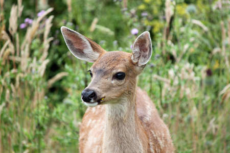 ear: Watchful Whidbey Island Fawn in Late Summer Stock Photo