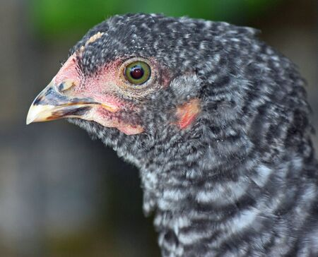 pullet: Closeup of Barred Rock Chick