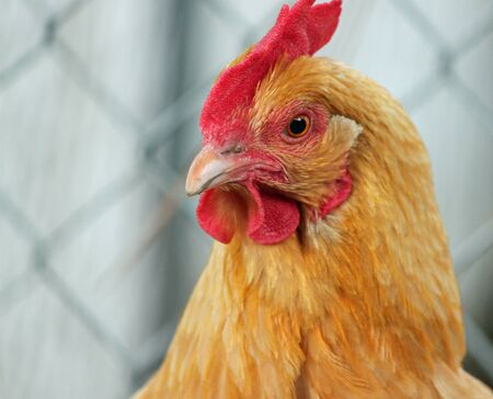 egglayer: Golden Backyard Chicken Looking Defensive Stock Photo