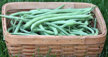 ejotes: Jard�n cesta de jud�as verdes frescas