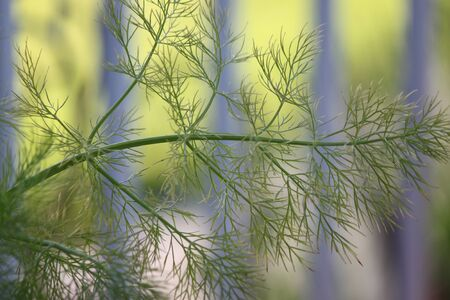 lacey: Closeup of Feathery Fennel Leaves Stock Photo