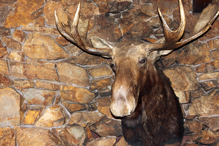 stone fireplace: Giant Moose Head on a Stone Fireplace
