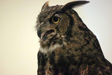 Closeup of a Great Horned Owl Screeching