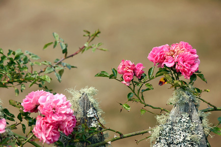 fencepost: Pink Climbing Roses on a Mossy Fence