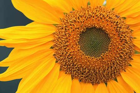 Closeup of a Yellow Sunflower