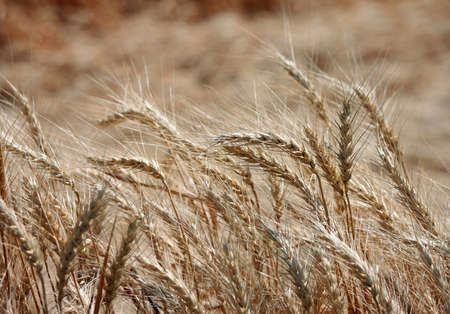 Closeup of Wheat Blowing on a Summer Breeze