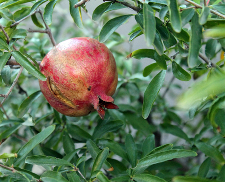 Ripe Pomegranate Growing on a Tree