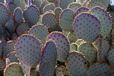 sonoran desert: Sunlit Prickly Pear Cactus in the Sonoran Desert Stock Photo