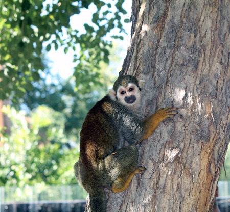 Squirrel Monkey at the Zoo