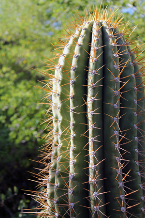 sonoran desert: Cactus in the Sonoran Desert
