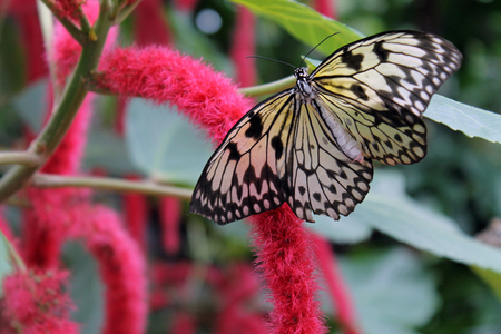 Black and White Butterfly Feeding on a Pink Flower Blossom