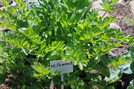 Milkweed in the Garden