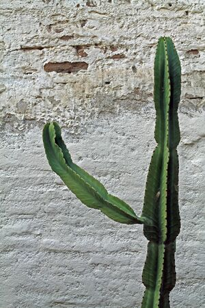adobe wall: Cactus Against Adobe Wall Stock Photo