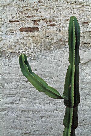 Cactus Against Adobe Wall Stock fotó