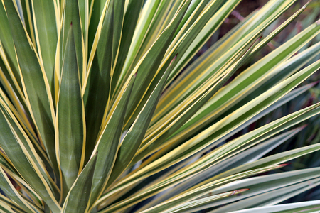 Closeup of  a Green and Gold Yucca Plant