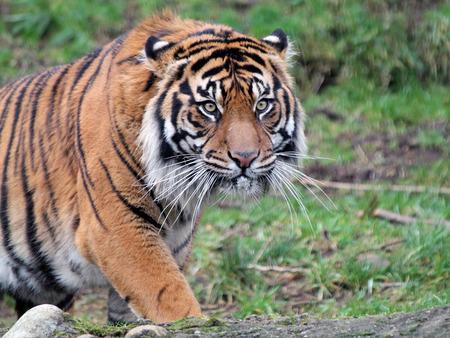 sumatran tiger: Closeup of a Sumatran Tiger